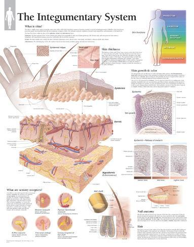 The Integumentary System Wall Posters - at AllPosters.com.au
