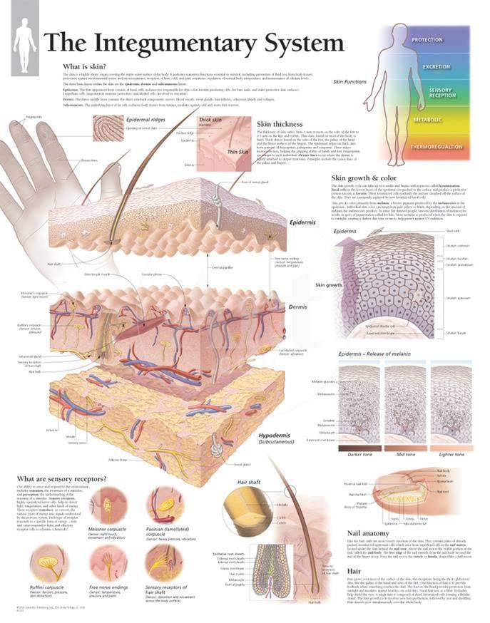 Integumentary System Animation Images - human anatomy organs diagram