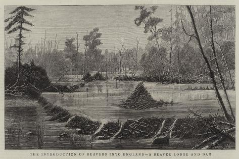 The Introduction of Beavers into England, a Beaver Lodge and Dam Giclee Print