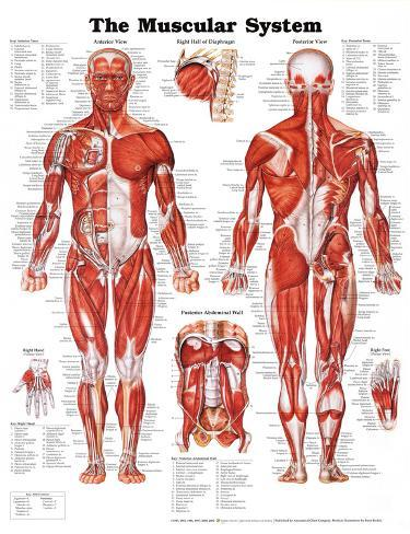 The Muscular System Anatomical Chart Pôster