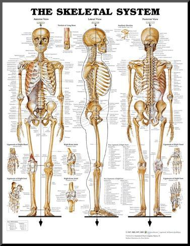 The Skeletal System Anatomical Chart Poster Print Mounted Print