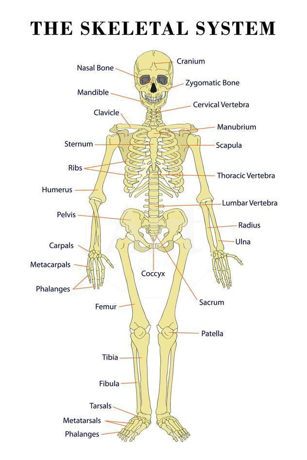 The Skeletal System Anatomical Chart Scientific Poster Print Poster ...