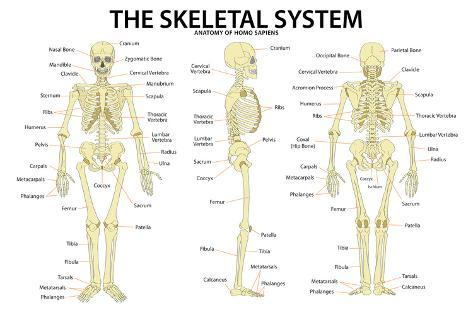 The Skeletal System Anatomy and Physiology Science Chart Prints at ...