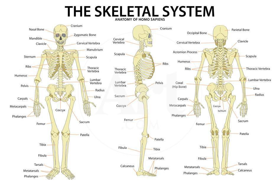 The Skeletal System Anatomy and Physiology Science Chart Prints - at ...