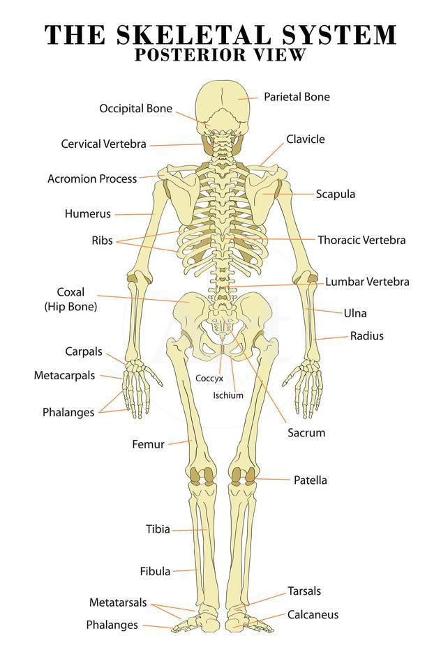 The Skeletal System Posterior View Anatomical Chart Scientific