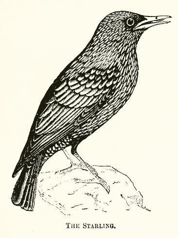 The Starling Giclee Print