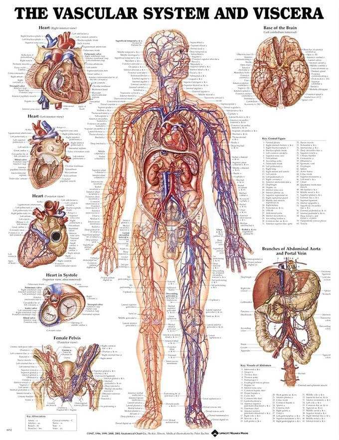 The Vascular System And Viscera Anatomical Chart Poster Posters At