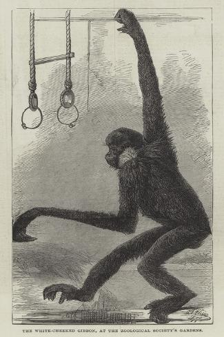 The White-Cheeked Gibbon, at the Zoological Society's Gardens Giclee Print