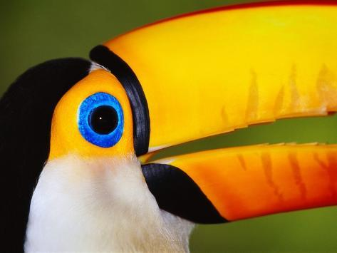 Head and Beak of a Toco Toucan Photographic Print