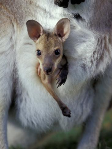 Red-necked Wallaby Joey in Pouch, Bunya Mountain National Park, Australia Photographic Print