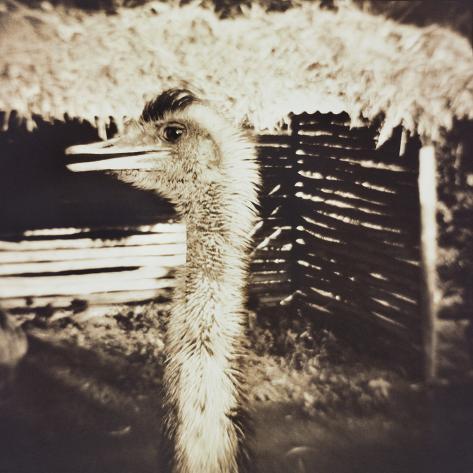 Ostrich in Profile Photographic Print