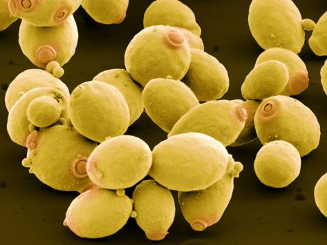Resultado de imagen para Saccharomyces cerevisiae