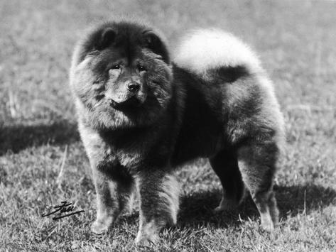 Champion Choonam Hung Kwong Crufts, Best in Show, 1936 Photographic Print