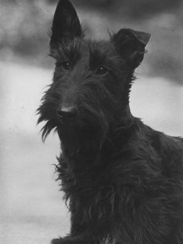 Head Study of an Unnamed Scottie with a Floppy Ear. Owner: Cross Photographic Print