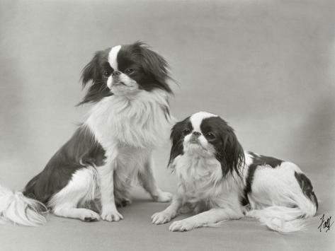 Pair of Japanese Chins Owned by Hudson One Sitting and One Lying Down Photographic Print