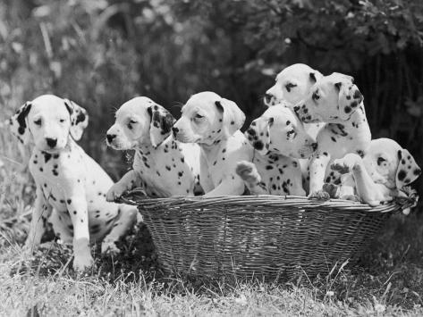 Six of the Puppies are Crowded in the Basket the Seventh is the Clever One as He Sits Outside It Photographic Print