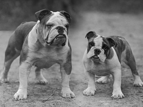 Two Unnamed Bulldogs Stand Together Owned by Green Photographic Print