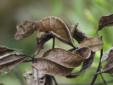 Fantastic Leaf-Tail Gecko (Uroplatus Phantasticus), Andasibe-Mantadia Nat'l Park, Madagascar Photographic Print