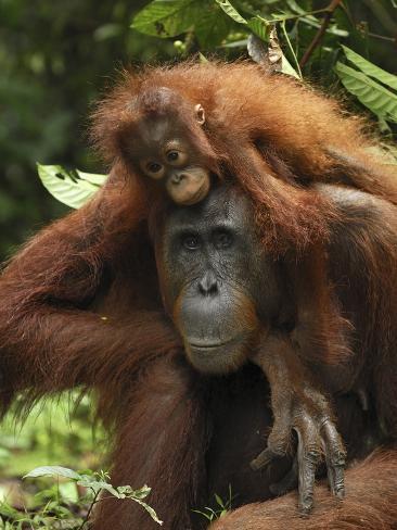 Orangutan (Pongo Pygmaeus) Female with Baby, Camp Leaky, Tanjung Puting Nat'l Park, Indonesia Photographic Print
