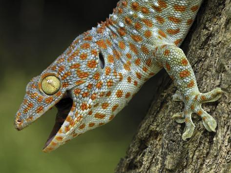 tokay gecko gekko gecko in defensive posture thailand