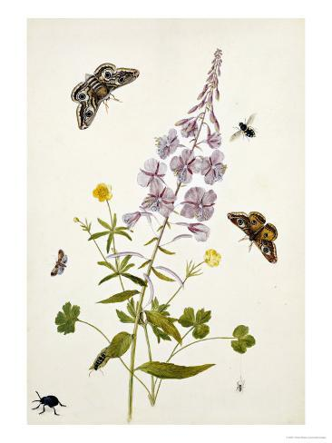 Rosebay Willowherb and Buttercups with Butterflies Giclee Print