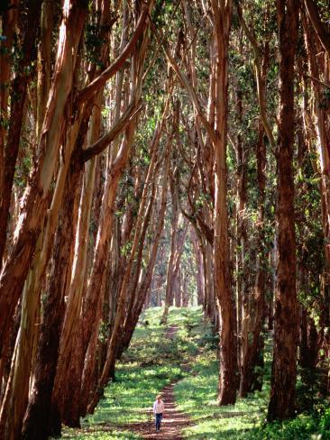 Woman Walking Through Eucalyptus Trees, the Presidio Photographic Print