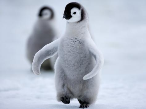 Emperor Penguin Chick (Aptenodytes Forsteri), Snow Hill Island, Weddell Sea, Antarctica Photographic Print