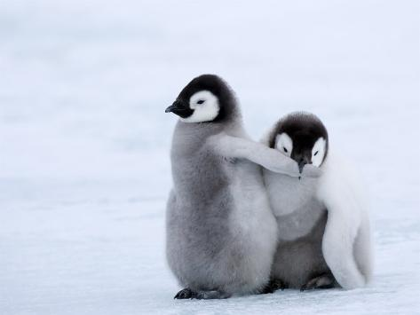 Emperor Penguin Chicks, Snow Hill Island, Weddell Sea, Antarctica, Polar Regions Photographic Print