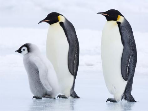 Emperor Penguins (Aptenodytes Forsteri) and Chick, Snow Hill Island, Weddell Sea, Antarctica Photographic Print