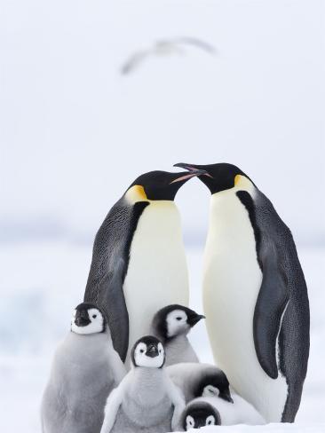 Emperor Penguins (Aptenodytes Forsteri) and Chicks, Snow Hill Island, Weddell Sea, Antarctica Photographic Print