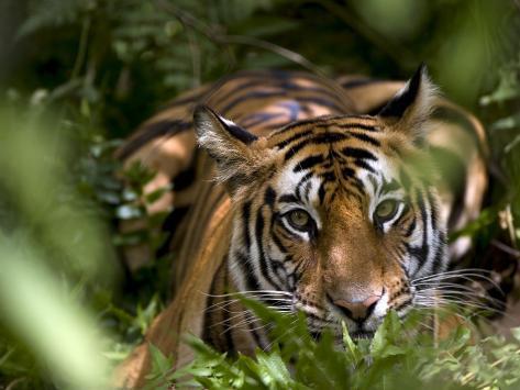 Female Indian Tiger at Samba Deer Kill, Bandhavgarh National Park, India Photographic Print