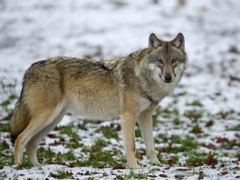 Wolf Germany gray wolf grey wolf canis lupus wildlife preserve