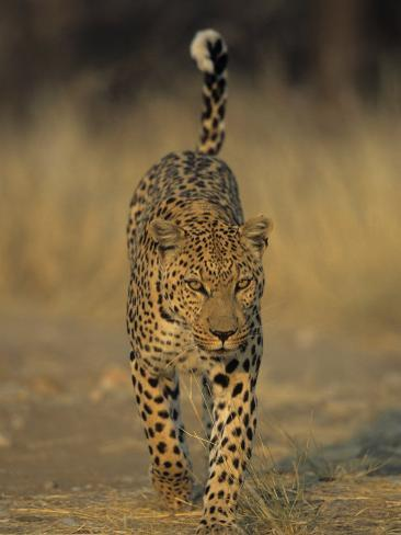Leopard, Panthera Pardus, Duesternbrook Private Game Reserve, Windhoek, Namibia, Africa Photographic Print