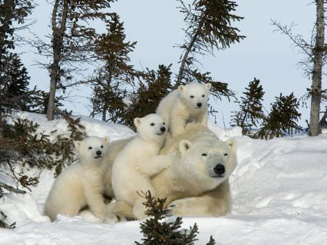 Polar Bear (Ursus Maritimus) Mother with Triplets, Wapusk National Park, Churchill, Manitoba Photographic Print