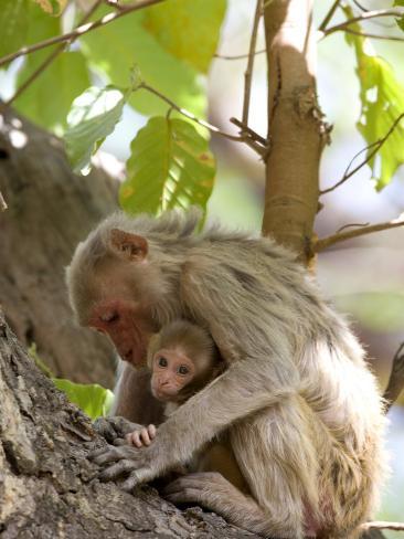 Rhesus Macaque Monkey (Macaca Mulatta), Bandhavgarh National Park, Madhya Pradesh State, India Photographic Print