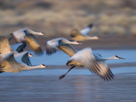 Sandhill Cranes, Grus Canadensis, Bosque Del Apache, Socorro, New Mexico, USA Photographic Print