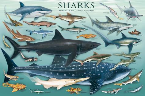 Tiburones Póster
