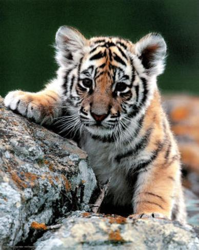 Tiger Cub Art Print Poster Mini Poster