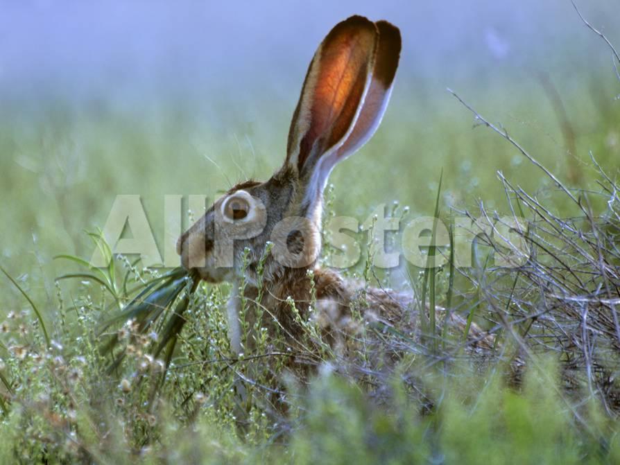Jack Rabbit Usa >> Black Tailed Jackrabbit Eating Grass New Mexico Usa Photographic