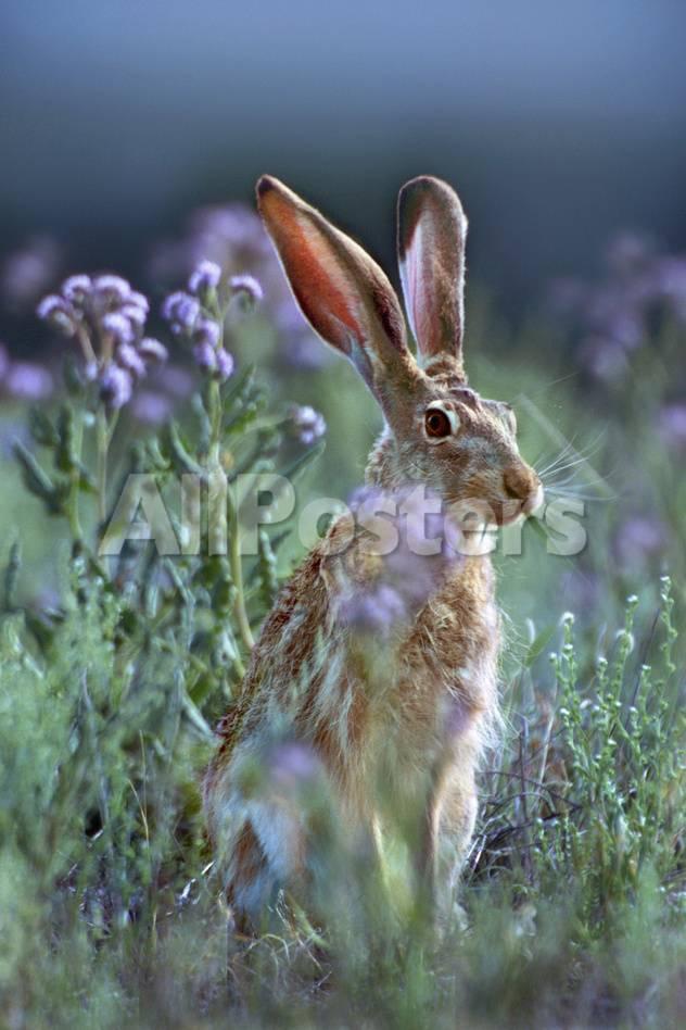 Jack Rabbit Usa >> Blacktail Jackrabbit Montana Usa Photographic Print By Tim