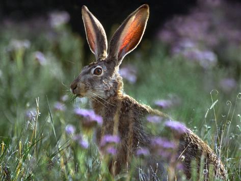 Jack Rabbit Usa >> Blacktail Jackrabbit New Mexico Usa
