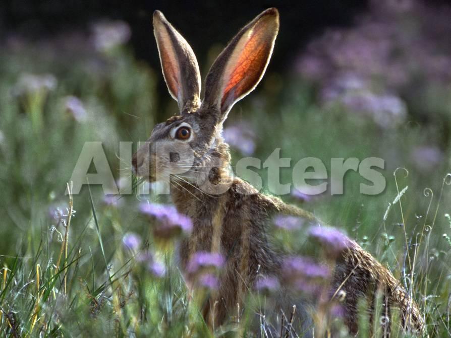 Jack Rabbit Usa >> Blacktail Jackrabbit New Mexico Usa Photographic Print By Tim