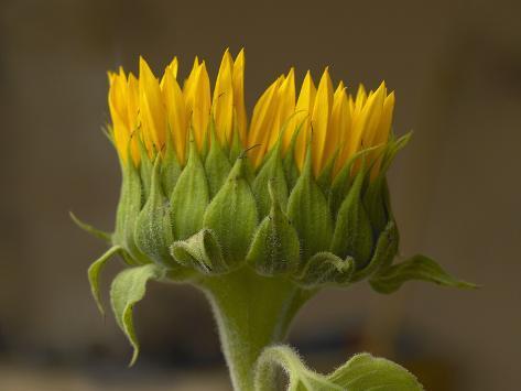 Sunflower Profile Stampa fotografica