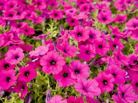 Closeup Of Bright Pink Garden Flowers