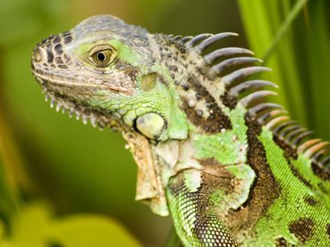 Green Iguana, Belize Photographic Print
