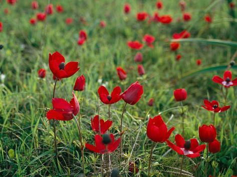 Wild Poppies Growing in a Turkish Field Photographic Print