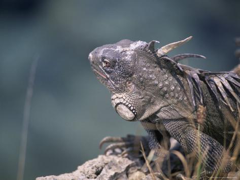 Green Iguana, Bonaire Photographic Print