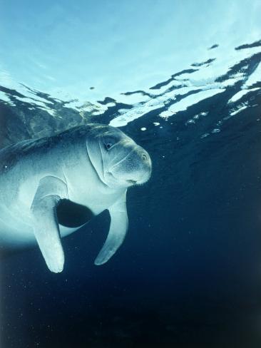 Manatee Underwater Photographic Print