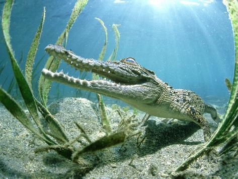 Saltwater Crocodile, Papua New Guinea Photographic Print