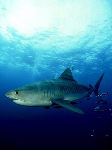 Tiger Shark, Aliwal Shoal, South Africa Photographic Print